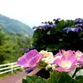 写真: 紫陽花の散歩道・1