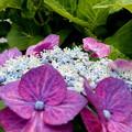 紫陽花の散歩道・2