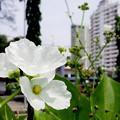 写真: 街角・エキノの花
