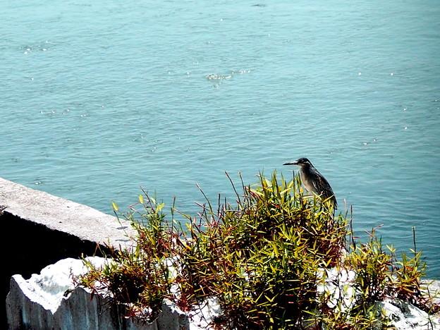 写真: 海岸で野鳥(ササゴイ)を撮影。1
