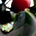 郷の秋)アマガエル、柿の葉ベット・1