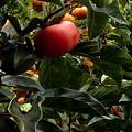 郷の秋)アマガエル、柿の葉ベット・2