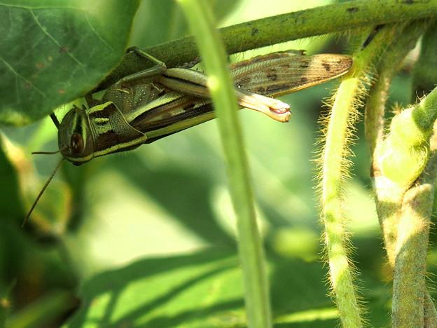 緑一色)草むらのネグラ、ツチイナゴ。