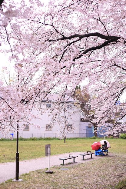 写真: 桜と傘