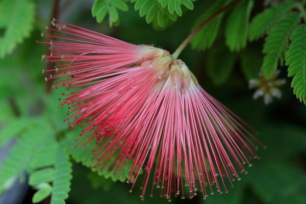 ヒネムの花