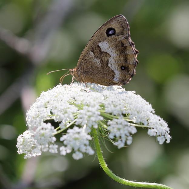 ジャノメチョウがノラニンジンの花に