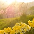 写真: 春の陽に