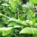 モンキアゲハの幼虫