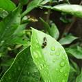 モンキアゲハの幼虫 2