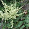 写真: ヌルデの花