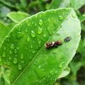 ナミアゲハの幼虫
