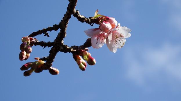 元日桜 2
