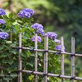 2017 千光寺の紫陽花6