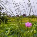 吉野ヶ里公園のハス2