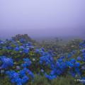 霧の紫陽花1