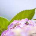 吉野ヶ里公園の紫陽花2