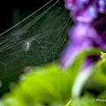 紫陽花 蜘蛛