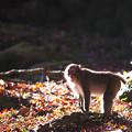 2017 高崎山の紅葉と猿7