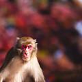 2017 高崎山の紅葉と猿8