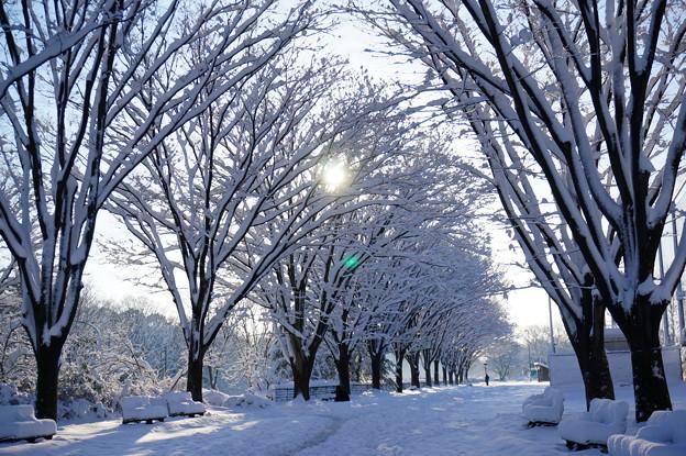 白い並木道