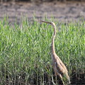Photos: ムラサキサギ幼鳥