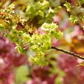 写真: みどりの桜