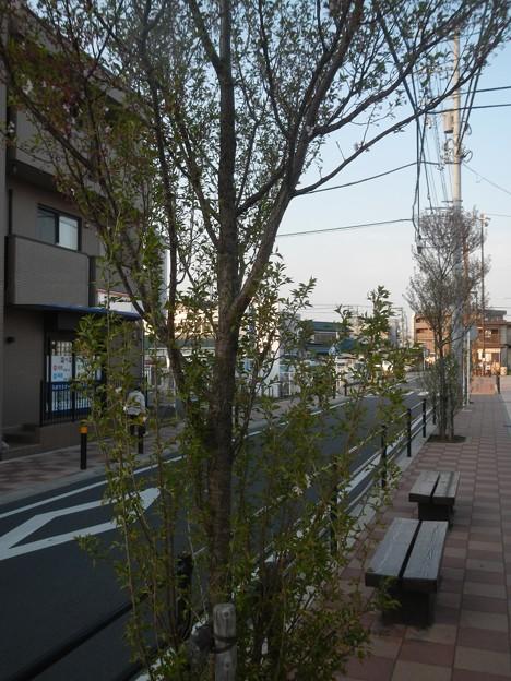 再植樹した桜が早速車道にはみ出そうとしている
