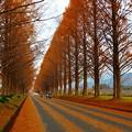 写真: マキノ・メタセコイア並木(1)