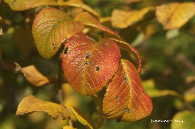 ハマナスの紅葉