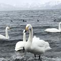 写真: 屈斜路湖の白鳥