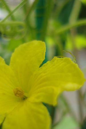 ゴーヤの花と蜘蛛さん