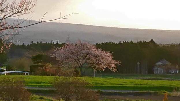 1本桜~今年も~