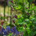写真: 黒花フウロ