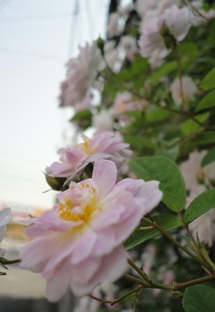 桜のように~
