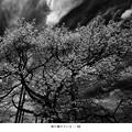 写真: 桜の樹の下には…III