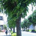 写真: 夏日、街路樹、通り風