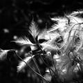 写真: センニンソウの綿毛