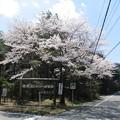 足利カントリークラブ飛駒コース入口の満開の桜2017.4.13