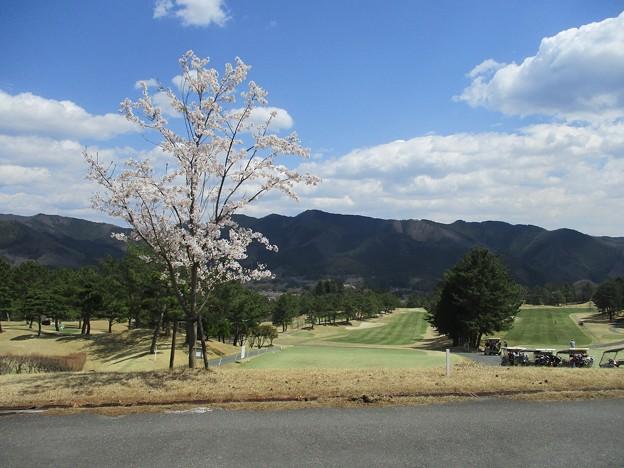 足利カントリークラブ飛駒コース1番ティー後ろの桜2017.4.13