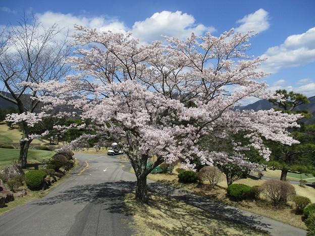 足利カントリークラブ多幸コースハウス前の満開の桜2017.4.13