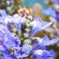 Photos: アジュガの開花@しそ科のハーブ