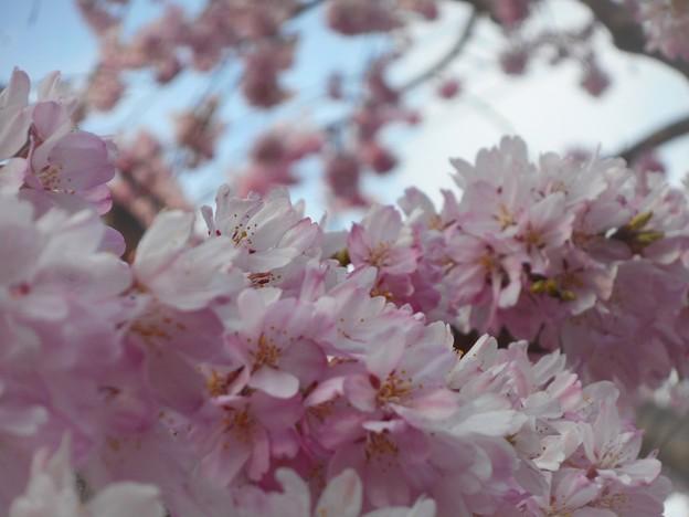 三春滝桜(子孫樹)が満開@紅枝垂れ桜 in 千光寺山