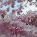 Photos: 三春滝桜(子孫樹)が満開@紅枝垂れ桜 in 千光寺山