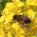 菜の花に@元気印のミツバチくん