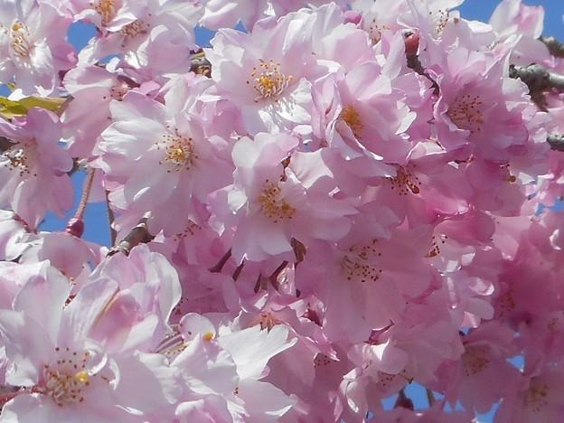 紅枝垂れ糸桜が満開@千光寺山