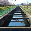 鯉の季節@桜の季節@黒崎水路の春