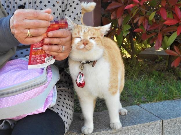 早く食べたいニャ~@千光寺山・さつき亭の猫 さくらちゃん