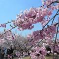 今日は会社の花見かな@紅枝垂れ糸桜@海の見える丘