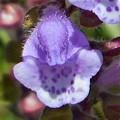 タツナミソウの花