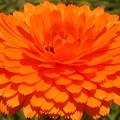 オレンジカラーの元気な花@陽春